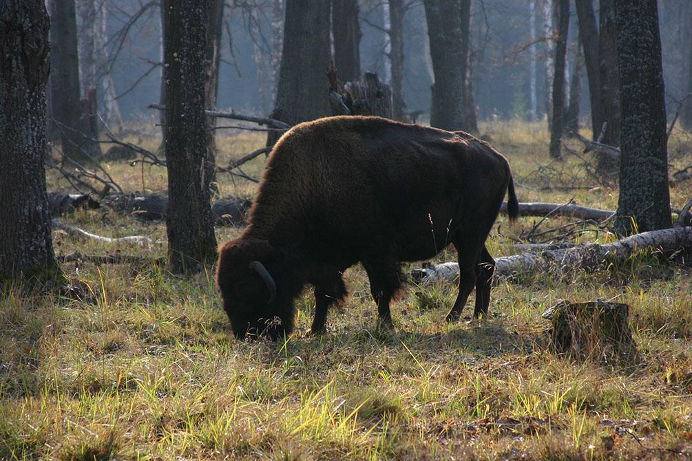 Московская область, Приокский Террасный заповедник, Зубры, 2005 год