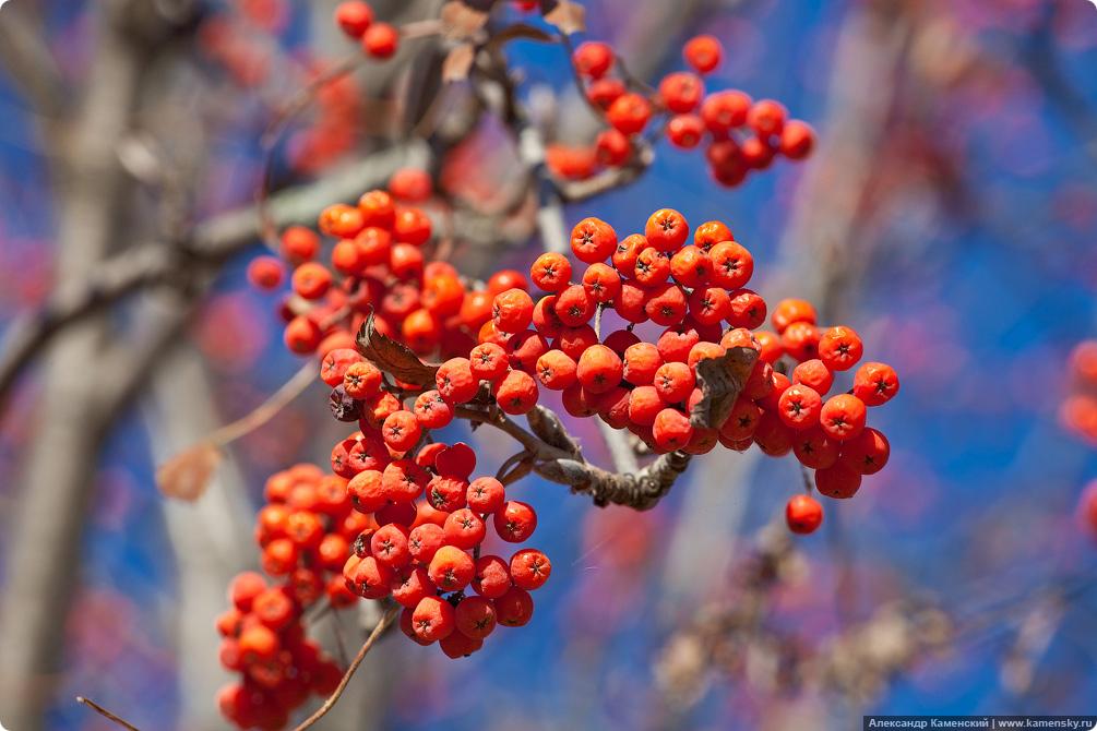 Осень, гроздья рябины