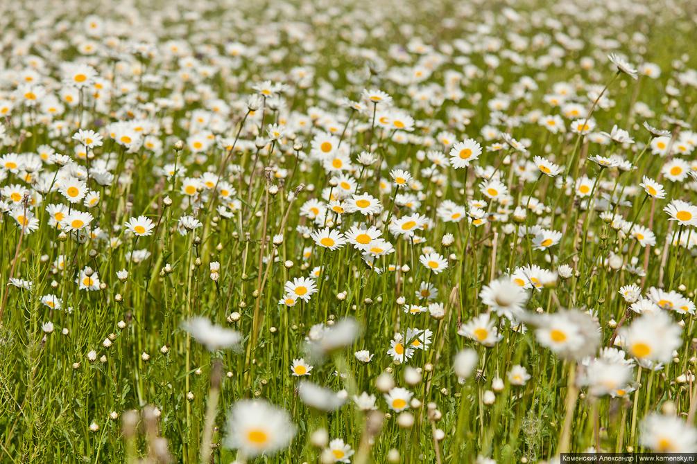 Яркое лето, ромашки, рассвет, желтые поля