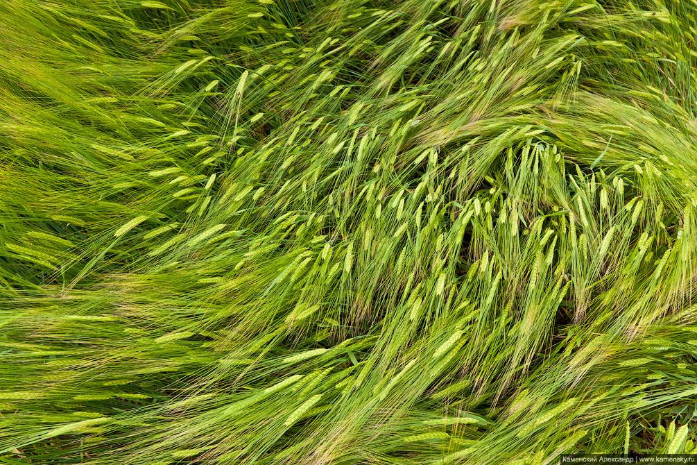 Цветы в июле, ржаные поля, Дмитровские холмы