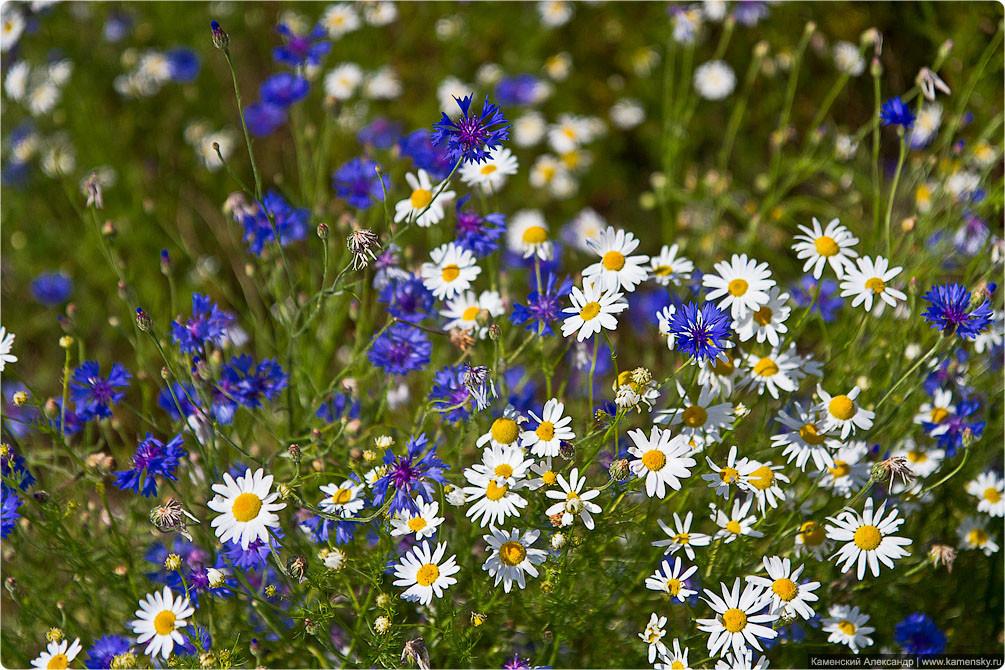 Картинки полевые цветы ромашки и васильки