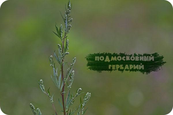 Лето, Фотографии, Цветы, Гербарий, Подмосковье, Московская область